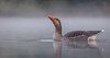 Greylag Goose in the early morning mist. (Tony Smith Photo's) Tags: beauty bird britain british lake nature pond reflection scenic surface swim swimming water wild wildlife wing wings animal animals anser anseranser calm dawn fog foggy geese goose grace graceful greylag greylaggoose light mist misty morning peaceful reflecting ripple scene sunrise tranquil waterfowl