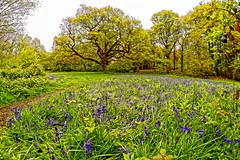 Bluebell Woods (Geoff Henson) Tags: woods forest trees grass footpath flowers bluebells oak leaves spring april blue green 1500v60f