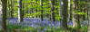 In and out those dusty bluebells!!! (Photo_stream_this) Tags: bluebells woods trees grass plants leaves sunshine nottinghamshire