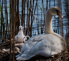 Mom, I want to swim. (jgaosb) Tags: swan baby massapequa preserve