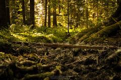 Unterholz (Emanuel D. Photography) Tags: forest nature tree woodland outdoors landscape leaf sunlight scenics autumn season sunbeam morning summer environment