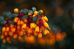 Dwarf Burning Bush (Margaret S.S) Tags: dwarf burning bush shrub flowers