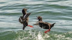 G3) Pigeon Guillemots - Mating Agression Sequence (Bob Gunderson) Tags: birds california cepphuscolumba fortpoint largeauks northerncalifornia pigeonguillemot presidio sanfrancisco swimmingbirdsother