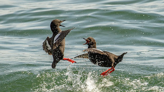 Pigeon Guillemots - Mating Agression Sequence