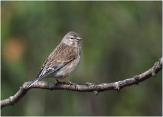 Linnet ( f ) (jenny*jones) Tags: femalelinnet cardueliscannabina summervisitor finch westyorkshire gtbritain may2018 canon7dmarkii canon100400mmii birdphotography