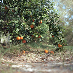 Abundance (macromary) Tags: citrusgrove orangegrove agriculture floridaagriculture smalltown smallfarm filmcamera vintage vintagecamera vintagelens oldglass manual mechanicalcamera analog availablelight analogphoto 120film bokeh depthoffield dof 120 mediumformat hassy hasselblad hasselblad500cm carlzeissplanar80mmf28ct planar 80mm portra portra160 color colour colourfilm floralcity banesgrove grove airbnb florida oldflorida fruit zeiss zeisslens orange oranges citrus citrusfruit hassey
