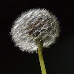 Dandelion - variations I thumbnail