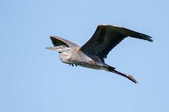 Great Blue Heron (Simon Stobart (Catching Up and Editing)) Tags: lakeland florida unitedstates us great blue heron flying ardea herodias coth5 naturethroughthelens