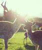 Daims (AliceHeiwa) Tags: daim cervides nature foret animaux bisou cute photocute animalcute pet animals