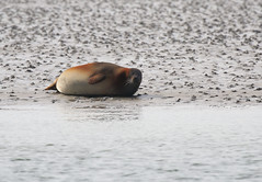 Sunbathing (Duevel) Tags: water beach oosterschelde zandkreek zandbank slik mud modder zeehond seal nature