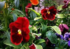 Pansies (Anna Gelashvili) Tags: pansies flower цветочки garden сад цветок flowers анютиныглазки plant soil почва ყვავილი ყვავილები leaf macro bright лист макрос яркий красныецветочки