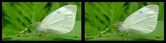 Small White Butterfly 11 - Crosseye 3D (DarkOnus) Tags: small white butterfly pennsylvania buckscounty panasonic lumix dmcfz35 3d stereogram stereography stereo darkonus closeup macro insect crossview crosseye