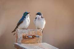 """I said Happy Mother's Day"" (hey its k) Tags: birds nature princesspoint treeswallow img0068e canon6d tamron 150600mm swallow hamilton hfg"