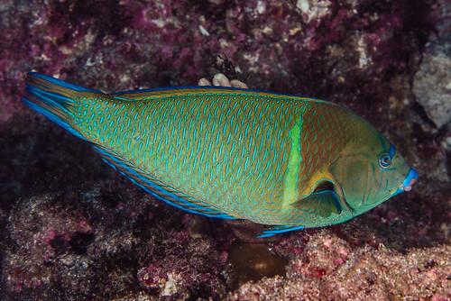 Blue-spotted Wrasse, terminal phase - Anampses caeruleopunctatus