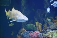 Wonders of Wildlfie National Museum and Aquarium (Adventurer Dustin Holmes) Tags: 2018 wondersofwildlife shark saltwater aquarium animalia chordata predator corral