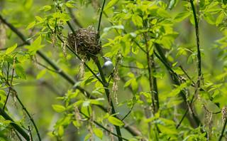 blue-gray knatcatcher guarding nest