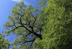 vert printemps (bulbocode909) Tags: valais suisse montagnes nature arbres forêts vert bleu printemps
