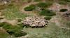 Le Cercle des Moutons (Quentin Douchet) Tags: alpes alpesfrançaises alps auvergnerhônealpes faune france frenchalps mouton nature savoie savoy animal fauna montagne mountain ngc
