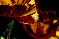 Amapolas (seguicollar) Tags: imagencreativa photomanipulación art arte artecreativo artedigital virginiaseguí naranja tulipanes flower flores plantas
