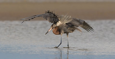 Setting the trap (Gary McHale) Tags: reddish egret wings canopy fishing fort myers florida gary mchale spread