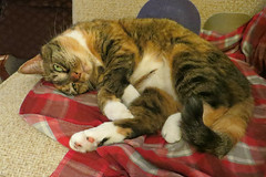 Gracie 29 April 2018 9209Ri 4x6 (edgarandron - Busy!) Tags: gracie patchedtabby cat cats kitty kitties tabby tabbies cute feline