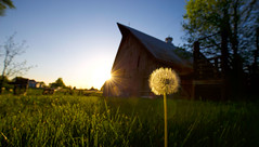 Wishes (KC Mike Day) Tags: wish wishes dandelion grass farm rural barn sun sunset glow