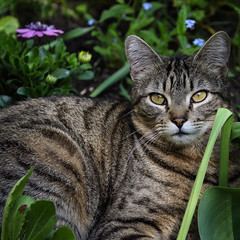 Resting In The Flower Bed (AnyMotion) Tags: nelli garden flowerbed blumenbeet firebug feuerwanze pet cat cats katze katzen animals tiere 2017 anymotion garten bokeh tabby getigert atigrada félin chat gata 7d2 canoneos7dmarkii spring frühling primavera printemps square 1600x1600