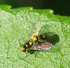 Liriomyza sp. (Gansucha) Tags: agromyzidae diptera liriomyza