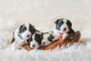 Cuteness Overload! (Samantha Nicol Art Photography) Tags: puppies four photoshoot studio border collie cute 3 weeks old