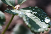 after rain (margycrane) Tags: drops raindrops leaves strawberry