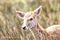 FALLOW DEER (mark_rutley) Tags: britishwildlife hampshire newforest thenewforest ukwildlife wildlife deer doe fallowdeer bolderwood