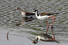 Black-necked Stilt and Lesser Yellowlegs...6O3A1500A (dklaughman) Tags: blackneckedstilt yellowlegs bombayhooknwr delaware