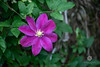 magenta (andriana andreeva photography) Tags: flower green clematis magenta pink purple outdoor foliage