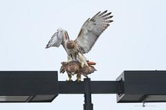 Playing Acrobatics (Eddie_NewYorkNature) Tags: citywildlife citybirdofprey redtailedhawk hawk bird mating animal urbanwildlife urbanbirdofprey newyorkcitypark newyorkbirdofprey