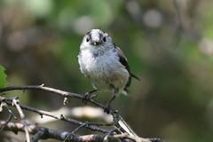 Long-tailed Tit (Edwyn Anderton) Tags: longtailedtit longtaiedtit tit padleygorge padley longshaw longshawestate easternmoors