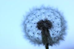 Transparence (Kaïyah) Tags: dandelion pissenlit taraxacum contrejour transparency light monochrome crépuscule graphism dusk