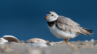 Piping Plover | 2018 - 6