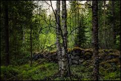 Stenmur (Jonas Thomén) Tags: stenmur stonewall forest skog woods summer sommar björk birch pine gran spruce moss mossa landscape landskap nature natur