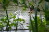 Mandarin Duck in Weald Country Park (nickstone333) Tags: weald wealdcountrypark essex nature nikon nikond7100 mandarinduck duck