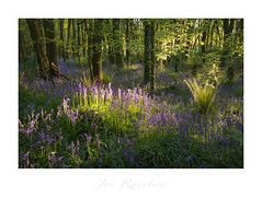 """""""Spring Woods"""" - Cornwall (Joe Rainbow) Tags: flowers joerainbow landscape bluebells branches canopy cornwall foliage nature trees woodland woods"""