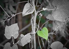 leafy-heart (johnnyb803) Tags: weeklythemesheartshapedgreenfree theme leaf jcbrown