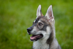 Molly (Nereus[GER]) Tags: husky molly canoneos80d canon 85mm f18 hund haustier welpe portrait saarland smerlot