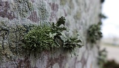 Lichen eyeballs (Twila1313) Tags: lichen moss tree trunk plant tropical green macro panasoniclx7