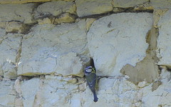 Blue tit. (wurzel.pete.3.5 Million views,Ta!) Tags: 19518 bluetit nesthole nestsite wall nest hole bird feeding wild fly flight uk bletchingley surrey nature