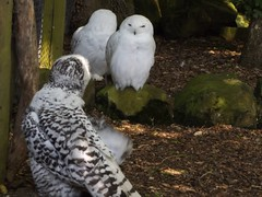 Drusillas Zoo Park 2018 (Sweet Mango 1965) Tags: drusillas zoo zoopark 2018 owl snowyowl