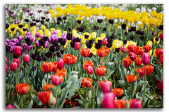 Tulip Field (Bear Dale) Tags: tulip field floriade canberra act australia nikon d850 nikkor afs 2470mm f28e ed flower flowers dale lake conjola ulladulla south coast nature fotoworx beardale lakeconjola shoalhaven southcoast framed fleurs flores photo photograph groups group flickr