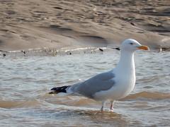 Paddling seagull... (deltrems) Tags: seagull gull paddling bird water sand blackpool lancashire fylde coast