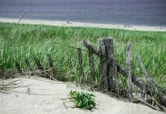 a fence holds the grass at bay . . . sort of (Dylan Bretz) Tags: canon t3i photoshop lightroom plants grass ocean beach fence sand field cape cod stylized