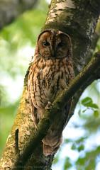 Tawny Owl (tommerchant1) Tags: owl tawnyowl wildlife nature britishwildlife cannockchase nikonwildlife tawny bird birds