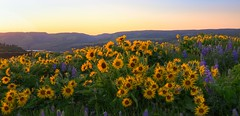 Rowena Crest wildflowers at sunset, Tom McCall Nature Preserve. (Cole Chase Photography) Tags: oregon pacificnorthwest balsamrootsunflowers lupine spring sunset